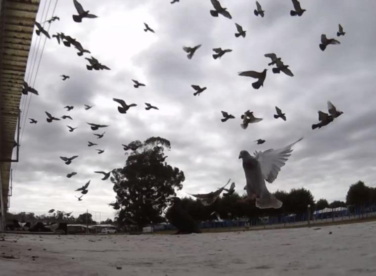 Infestação de pombos